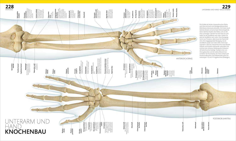Charmant Unterarm Anatomie Ideen - Menschliche Anatomie Bilder ...
